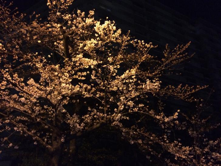 夜桜-2018-0324