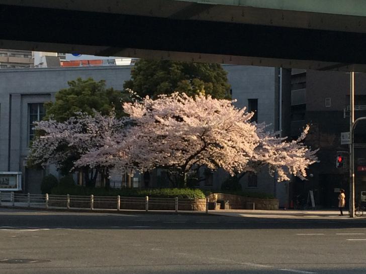 桜川交差点の大きな桜の木