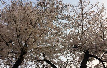 八幡の桜-2018